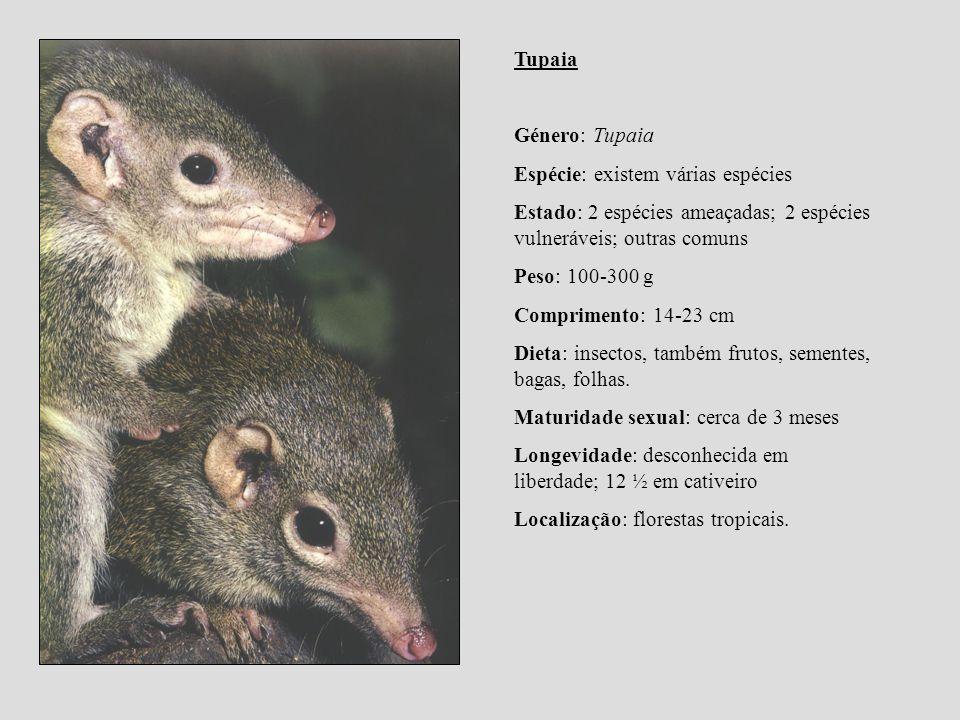 Tupaia Género: Tupaia Espécie: existem várias espécies Estado: 2 espécies ameaçadas; 2 espécies vulneráveis; outras comuns Peso: 100-300 g Comprimento