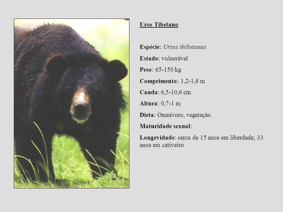 Urso Tibetano Espécie: Ursus thibetanus Estado: vulnerável Peso: 65-150 kg Comprimento: 1,2-1,8 m Cauda: 6,5-10,6 cm Altura: 0,7-1 m Dieta: Omnívoro,