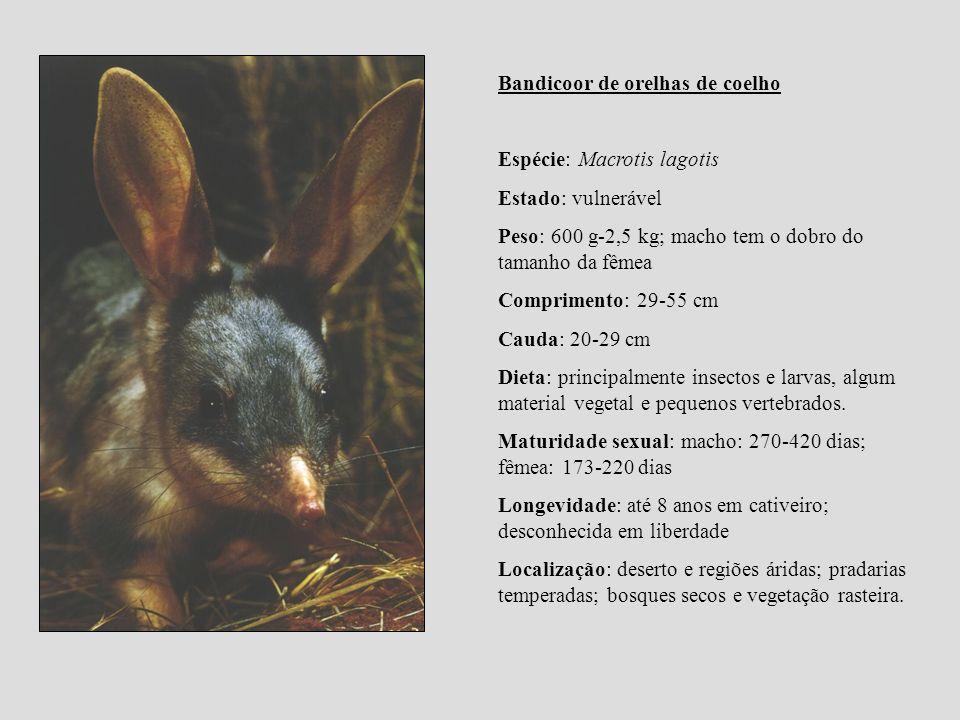 Bandicoor de orelhas de coelho Espécie: Macrotis lagotis Estado: vulnerável Peso: 600 g-2,5 kg; macho tem o dobro do tamanho da fêmea Comprimento: 29-