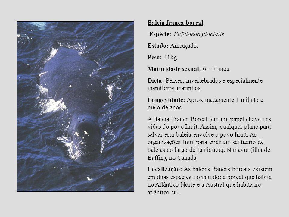 Baleia franca boreal Espécie: Eufalaena glacialis. Estado: Ameaçado. Peso: 41kg Maturidade sexual: 6 – 7 anos. Dieta: Peixes, invertebrados e especial