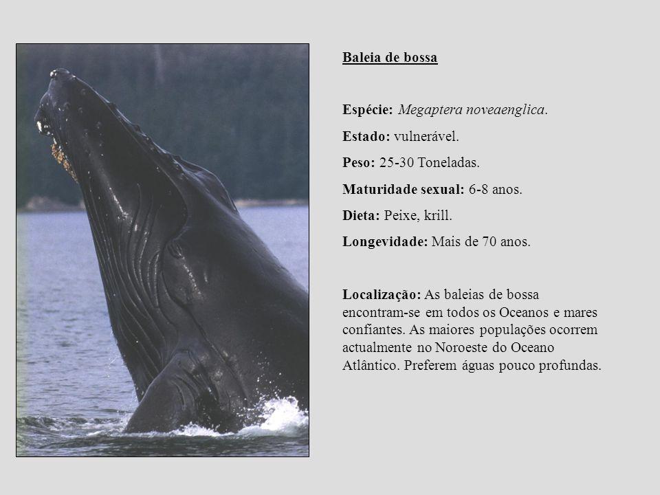 Baleia de bossa Espécie: Megaptera noveaenglica. Estado: vulnerável. Peso: 25-30 Toneladas. Maturidade sexual: 6-8 anos. Dieta: Peixe, krill. Longevid
