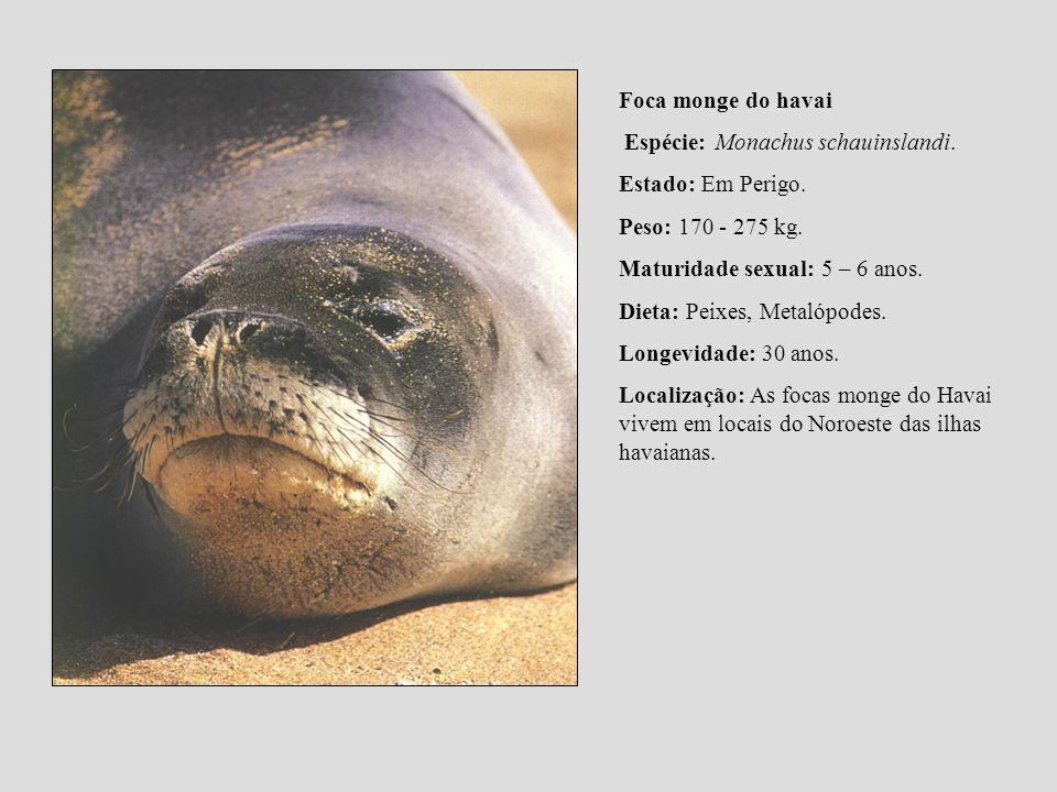 Foca monge do havai Espécie: Monachus schauinslandi. Estado: Em Perigo. Peso: 170 - 275 kg. Maturidade sexual: 5 – 6 anos. Dieta: Peixes, Metalópodes.