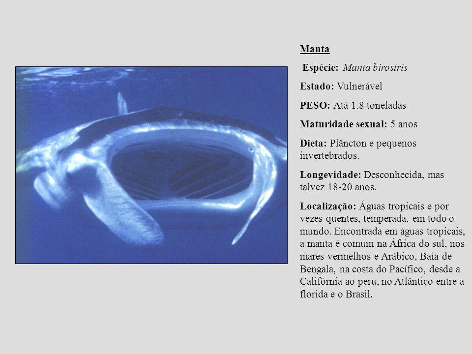 Manta Espécie: Manta birostris Estado: Vulnerável PESO: Atá 1.8 toneladas Maturidade sexual: 5 anos Dieta: Plâncton e pequenos invertebrados. Longevid