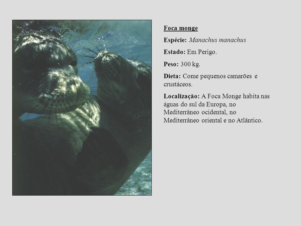 Foca monge Espécie: Manachus manachus Estado: Em Perigo. Peso: 300 kg. Dieta: Come pequenos camarões e crustáceos. Localização: A Foca Monge habita na