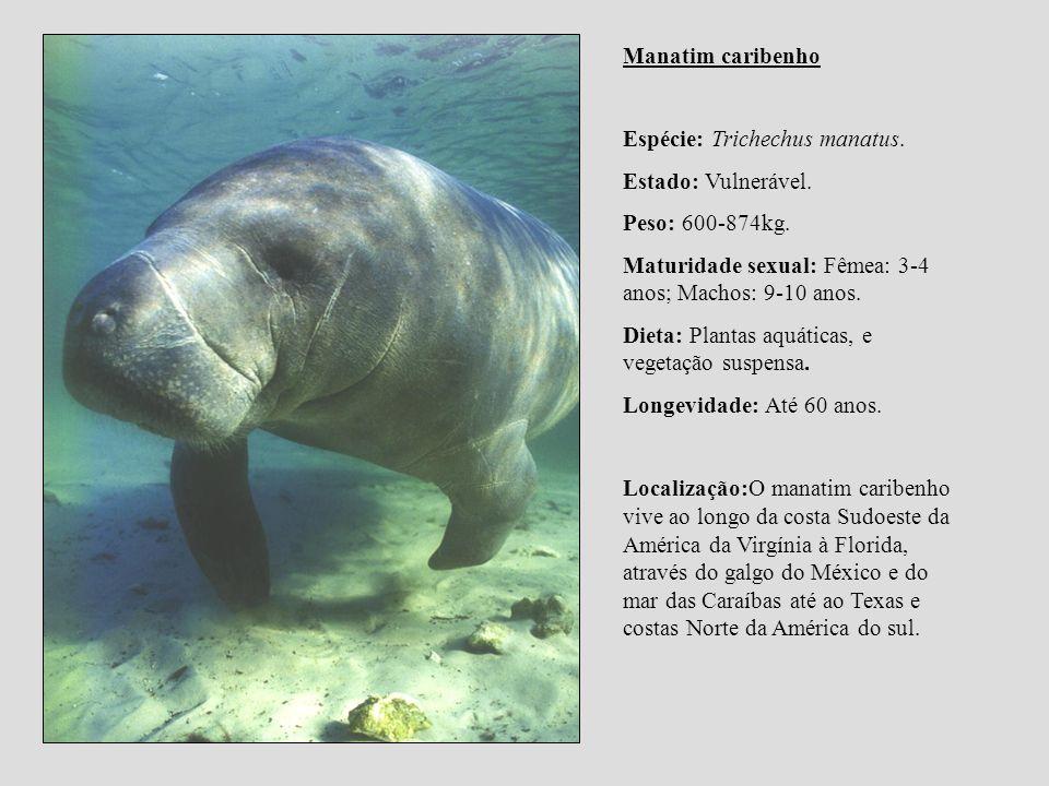 Manatim caribenho Espécie: Trichechus manatus. Estado: Vulnerável. Peso: 600-874kg. Maturidade sexual: Fêmea: 3-4 anos; Machos: 9-10 anos. Dieta: Plan