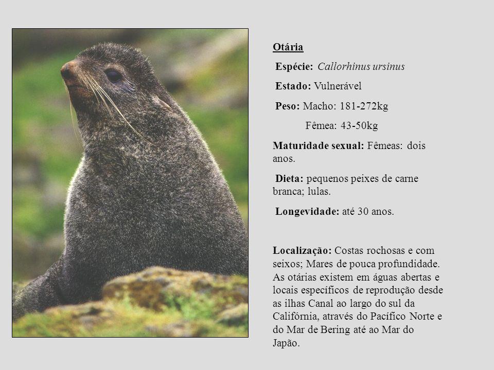 Otária Espécie: Callorhinus ursinus Estado: Vulnerável Peso: Macho: 181-272kg Fêmea: 43-50kg Maturidade sexual: Fêmeas: dois anos. Dieta: pequenos pei