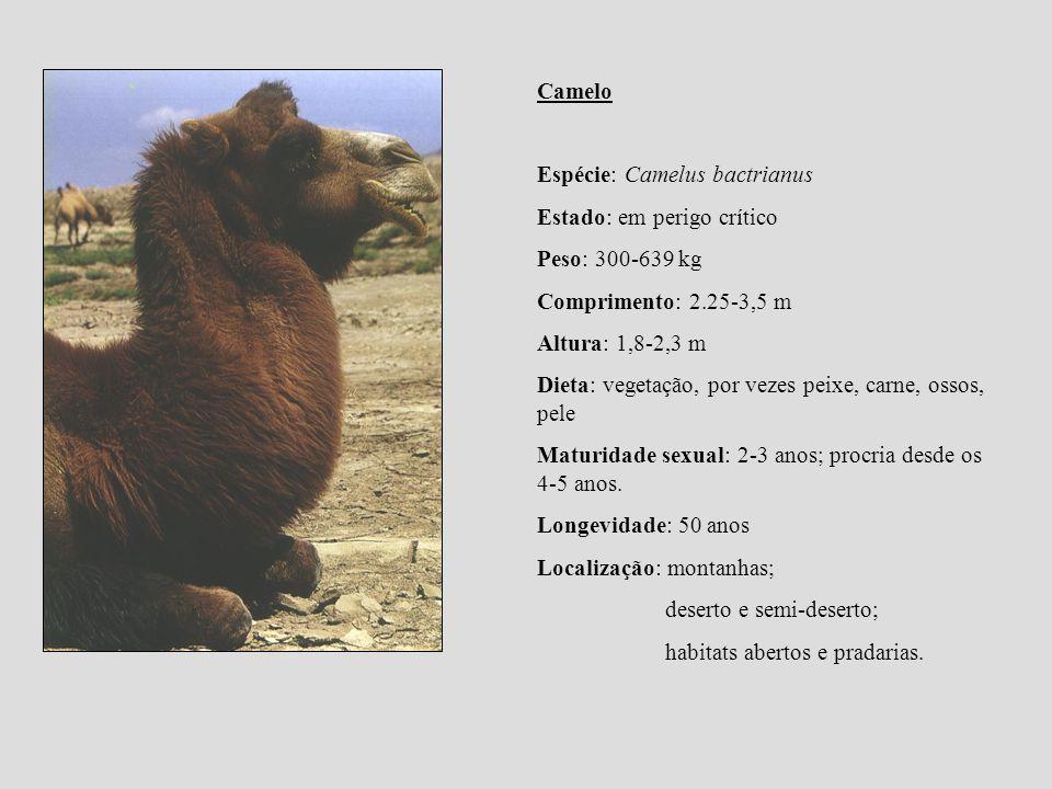 Camelo Espécie: Camelus bactrianus Estado: em perigo crítico Peso: 300-639 kg Comprimento: 2.25-3,5 m Altura: 1,8-2,3 m Dieta: vegetação, por vezes pe