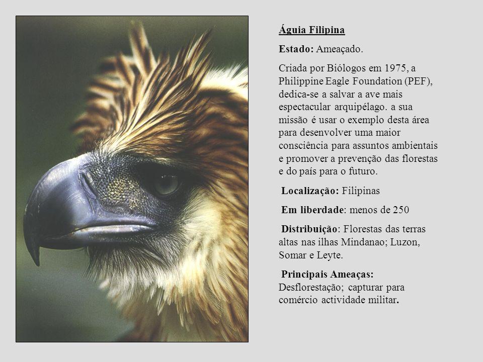 Águia Filipina Estado: Ameaçado. Criada por Biólogos em 1975, a Philippine Eagle Foundation (PEF), dedica-se a salvar a ave mais espectacular arquipél