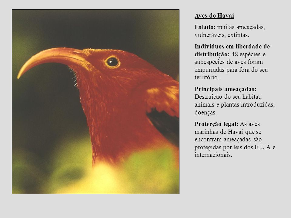 Aves do Havai Estado: muitas ameaçadas, vulneráveis, extintas. Indivíduos em liberdade de distribuição: 48 espécies e subespécies de aves foram empurr