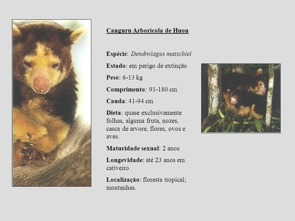 Canguru Arborícola de Huon Espécie: Dendrolagus matschiei Estado: em perigo de extinção Peso: 6-13 kg Comprimento: 91-180 cm Cauda: 41-94 cm Dieta: qu