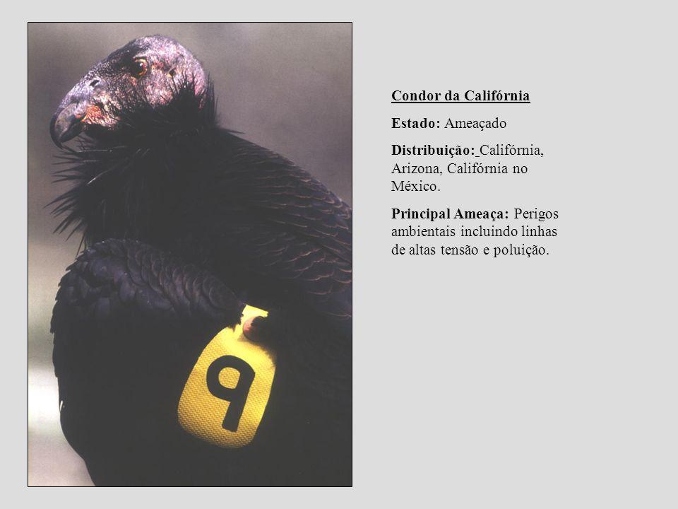 Condor da Califórnia Estado: Ameaçado Distribuição: Califórnia, Arizona, Califórnia no México. Principal Ameaça: Perigos ambientais incluindo linhas d
