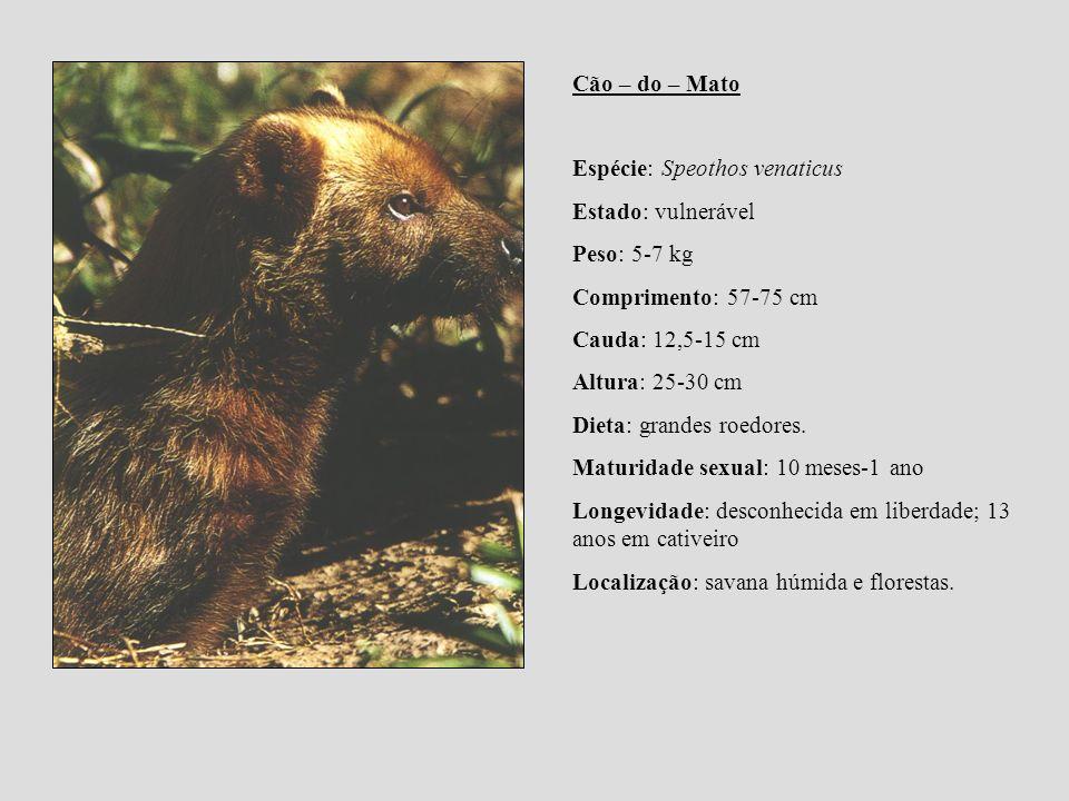 Cão – do – Mato Espécie: Speothos venaticus Estado: vulnerável Peso: 5-7 kg Comprimento: 57-75 cm Cauda: 12,5-15 cm Altura: 25-30 cm Dieta: grandes ro