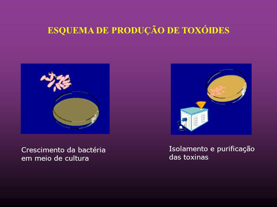 Crescimento da bactéria em meio de cultura Isolamento e purificação das toxinas ESQUEMA DE PRODUÇÃO DE TOXÓIDES