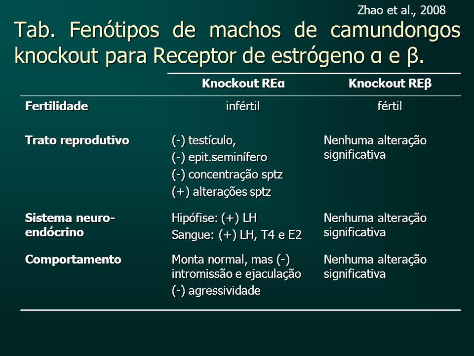 Tab. Fenótipos de machos de camundongos knockout para Receptor de estrógeno α e β. Knockout REα Knockout REβ Fertilidadeinfértilfértil Trato reproduti