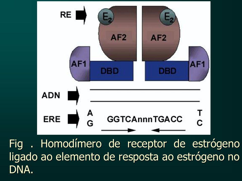 Fig. Homodímero de receptor de estrógeno ligado ao elemento de resposta ao estrógeno no DNA.