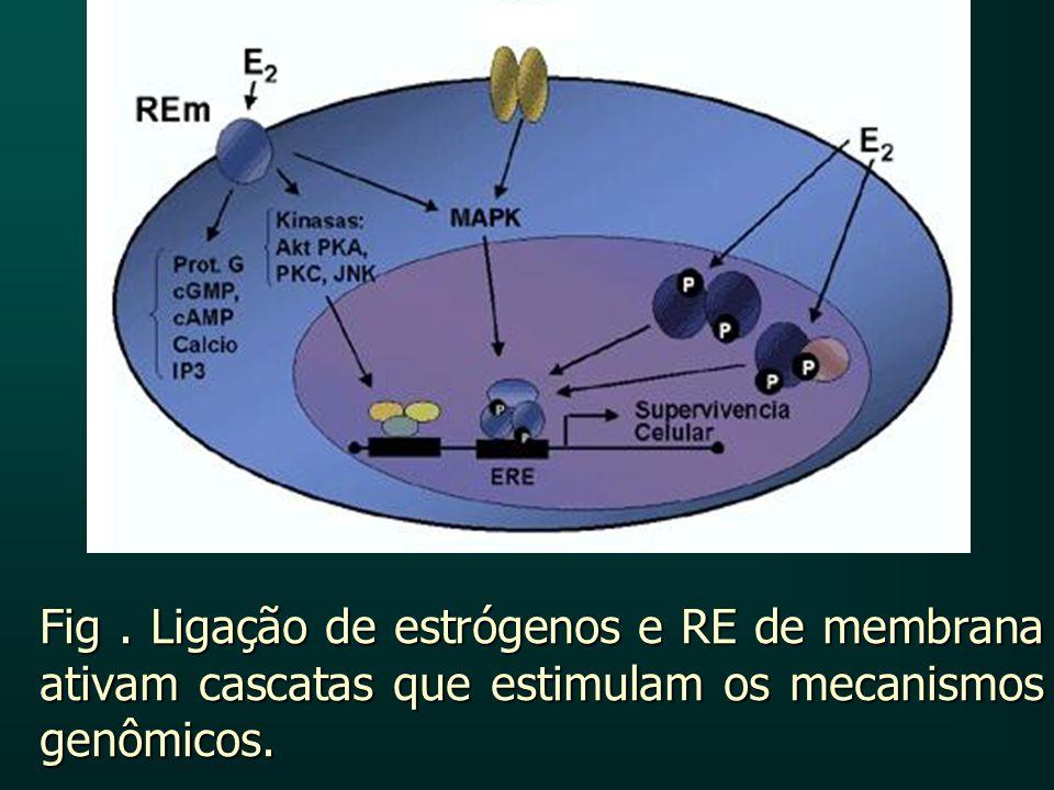 Fig. Ligação de estrógenos e RE de membrana ativam cascatas que estimulam os mecanismos genômicos.