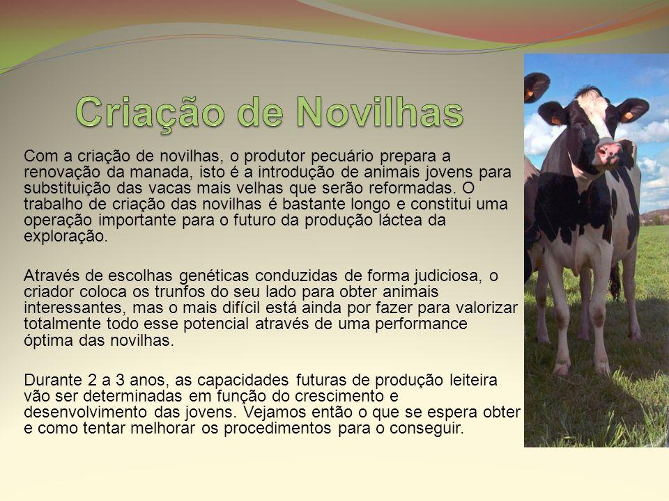 Com a criação de novilhas, o produtor pecuário prepara a renovação da manada, isto é a introdução de animais jovens para substituição das vacas mais v
