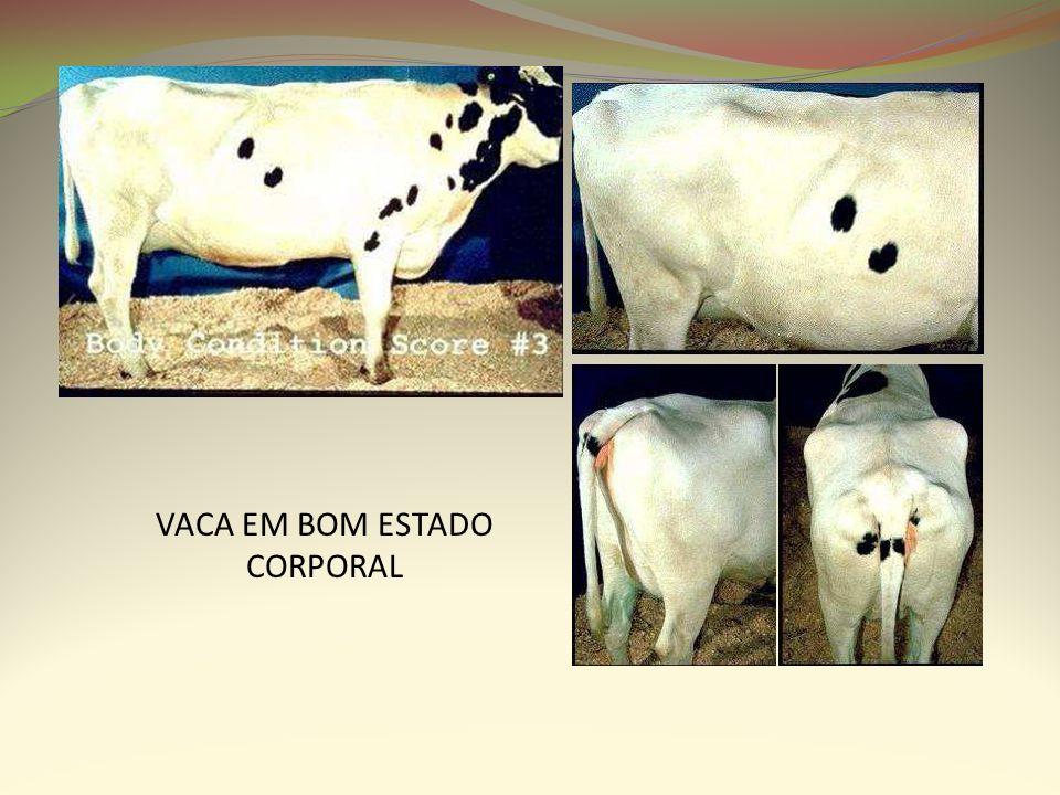 VACA EM BOM ESTADO CORPORAL
