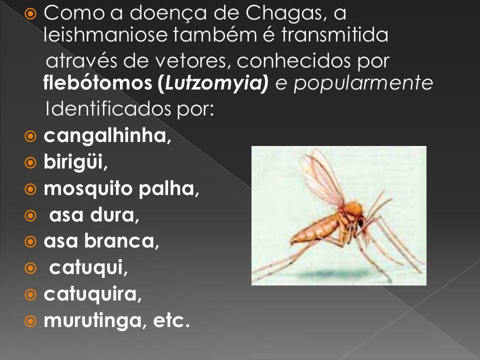 Como a doença de Chagas, a leishmaniose também é transmitida através de vetores, conhecidos por flebótomos ( Lutzomyia) e popularmente Identificados p