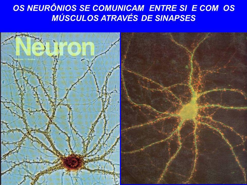 OS NEURÔNIOS SE COMUNICAM ENTRE SI E COM OS MÚSCULOS ATRAVÉS DE SINAPSES