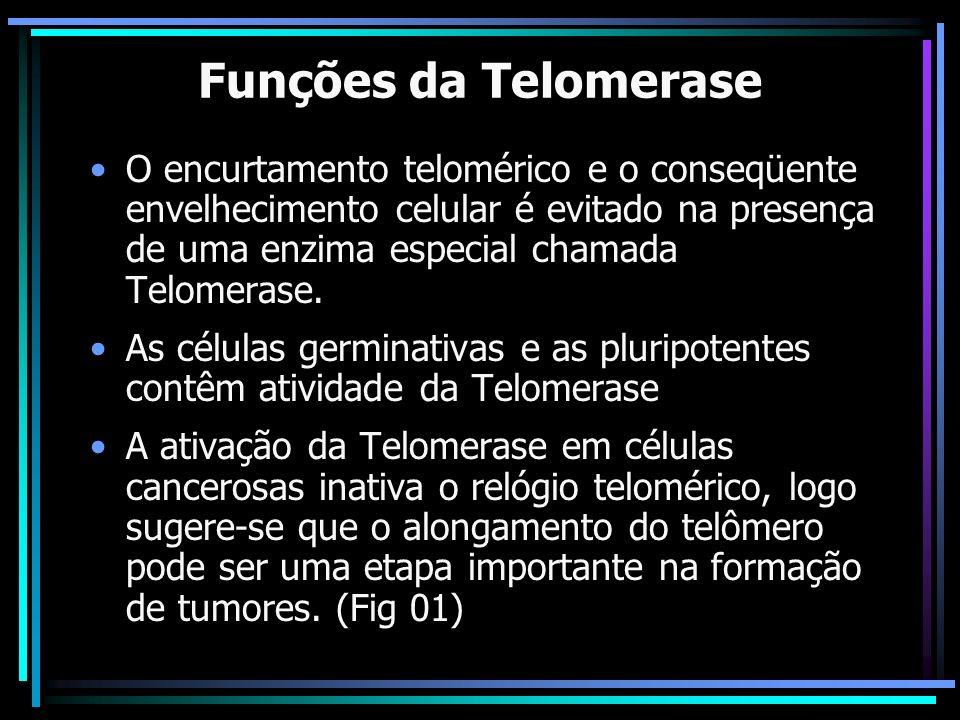 Funções da Telomerase O encurtamento telomérico e o conseqüente envelhecimento celular é evitado na presença de uma enzima especial chamada Telomerase