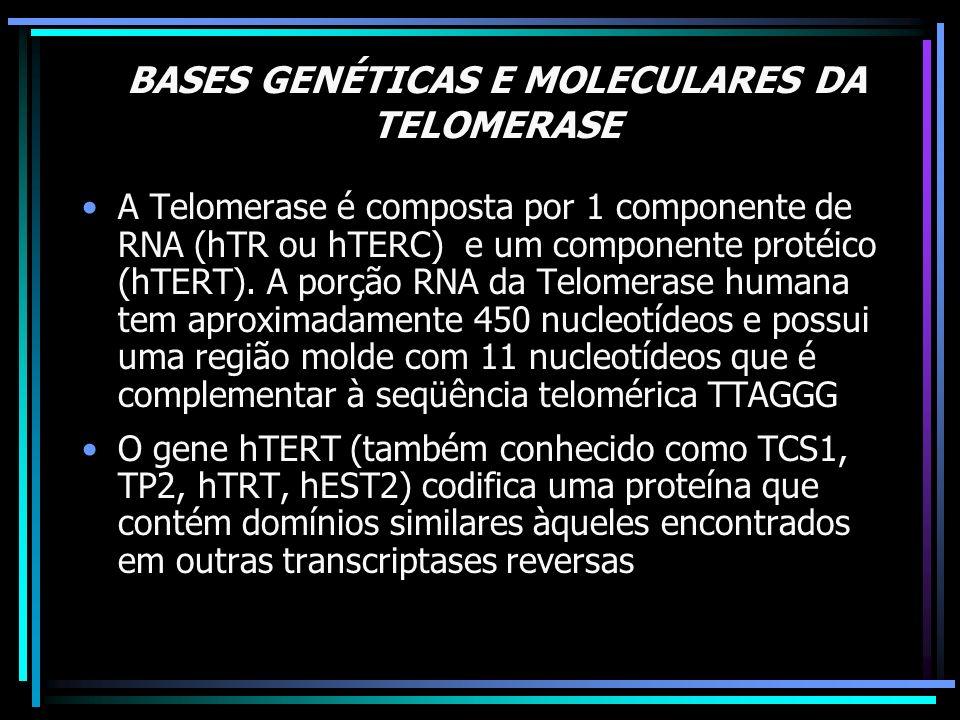 BASES GENÉTICAS E MOLECULARES DA TELOMERASE A Telomerase é composta por 1 componente de RNA (hTR ou hTERC) e um componente protéico (hTERT). A porção