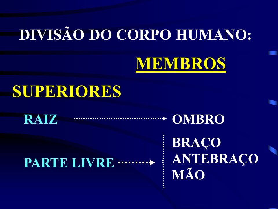 DIVISÃO DO CORPO HUMANO: MEMBROS SUPERIORES RAIZOMBRO BRAÇO ANTEBRAÇO MÃO PARTE LIVRE