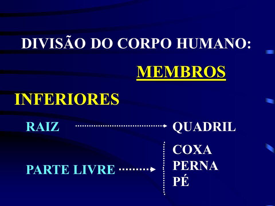 DIVISÃO DO CORPO HUMANO: MEMBROS INFERIORES RAIZQUADRIL COXA PERNA PÉ PARTE LIVRE