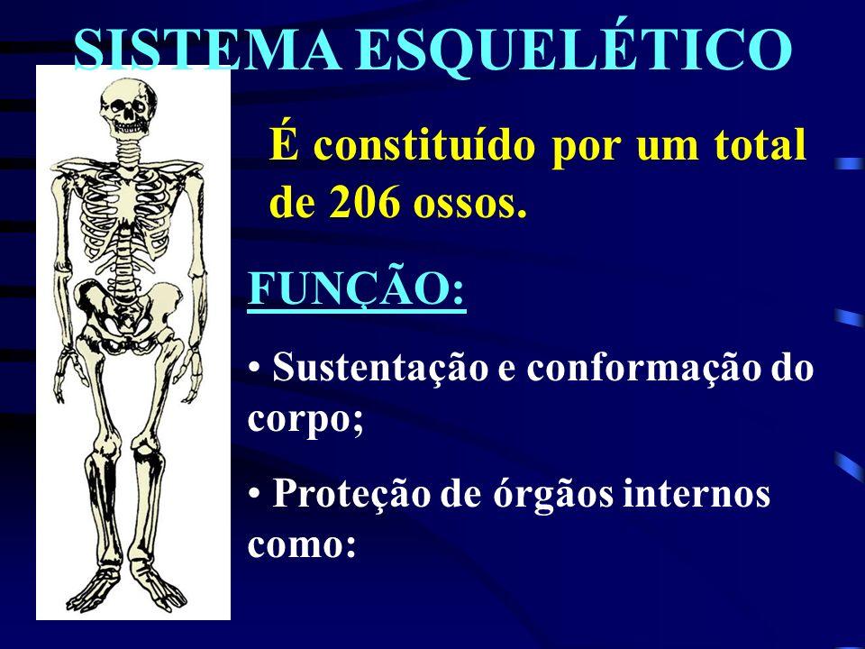 SISTEMA ESQUELÉTICO É constituído por um total de 206 ossos.