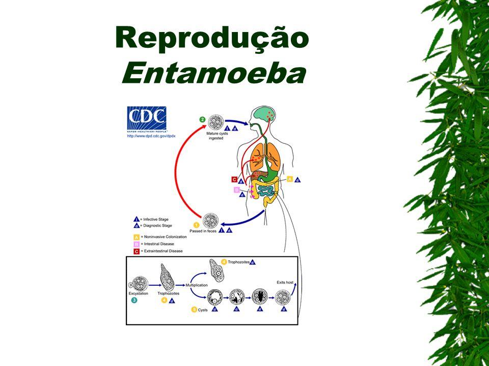 Amebíase (Rizópode) Agente etiológico: Entamoeba Hystolitica Contaminação: Ingestão de cistos em água ou alimentos contaminados Sintomas: Disenteria a