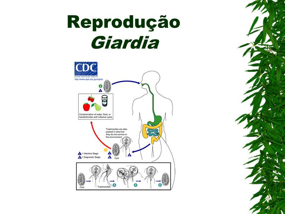 Giardíase (Flagelado) Agente etiológico: Giardia lamblia Contaminação: Ingestão de cistos em água ou alimentos contaminados Sintomas: Disenteria aguda