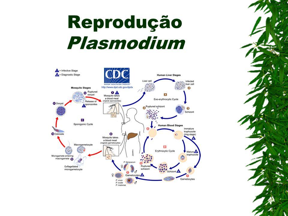 Tipos de Plasmodium Plasmodium vivax (Terçã benigna) Plasmodium falciparum (Terçã maligna) Plasmodium malariae (Quartã) Plasmodium ovale (Não identifi