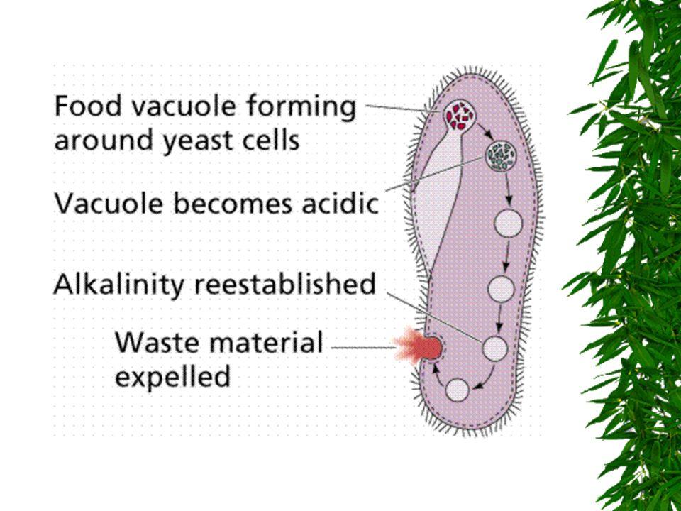 Nutrição Holozóicos ou heterotróficos Ingestão de partículas orgânicas por fagocitose ou pinocitose. Saprozóicos Ingestão de substancias inorgânicas j