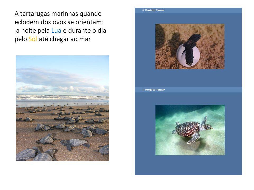 A tartarugas marinhas quando eclodem dos ovos se orientam: a noite pela Lua e durante o dia pelo Sol até chegar ao mar
