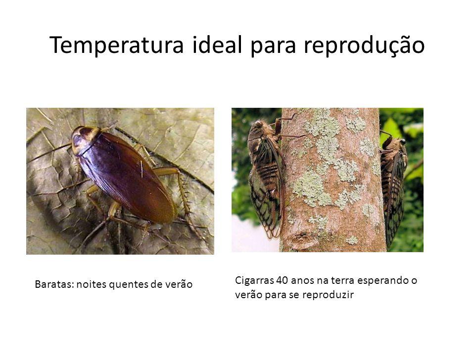 Temperatura ideal para reprodução Baratas: noites quentes de verão Cigarras 40 anos na terra esperando o verão para se reproduzir
