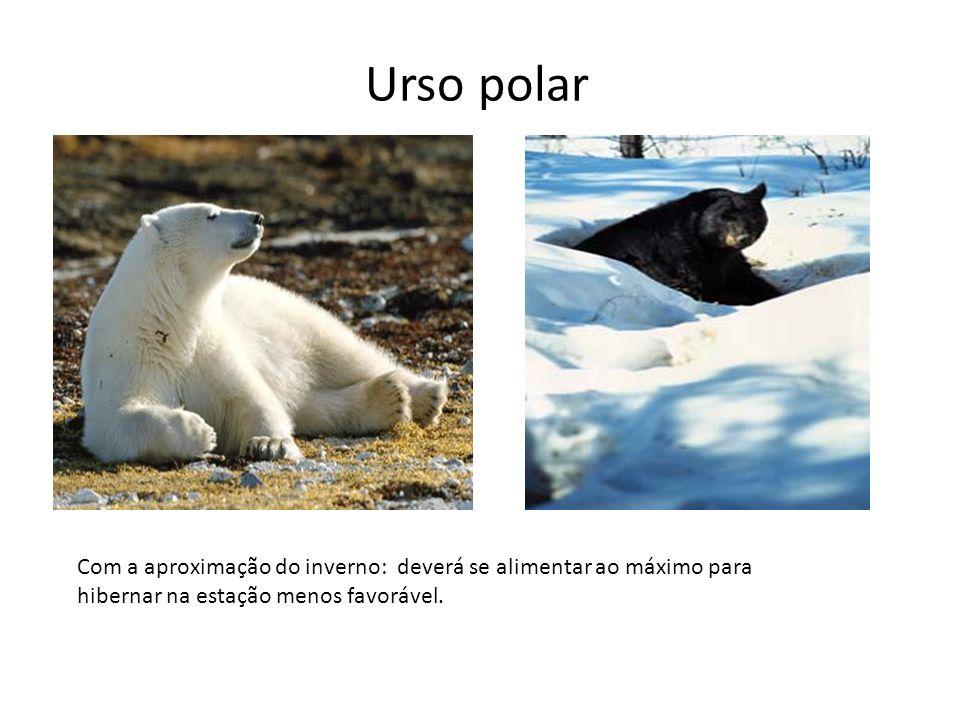 Urso polar Com a aproximação do inverno: deverá se alimentar ao máximo para hibernar na estação menos favorável.