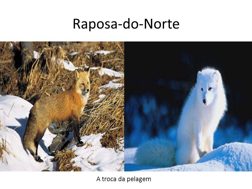Raposa-do-Norte A troca da pelagem