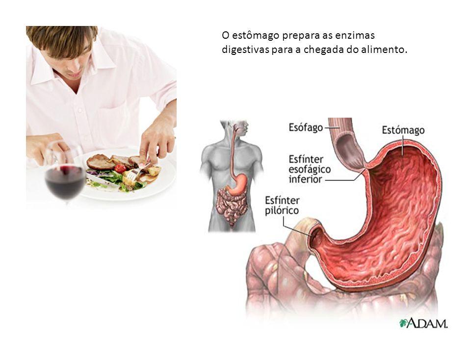O estômago prepara as enzimas digestivas para a chegada do alimento.