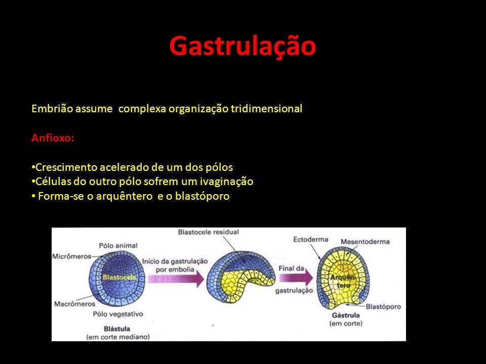 Gastrulação Embrião assume complexa organização tridimensional Anfioxo: Crescimento acelerado de um dos pólos Células do outro pólo sofrem um ivaginaç