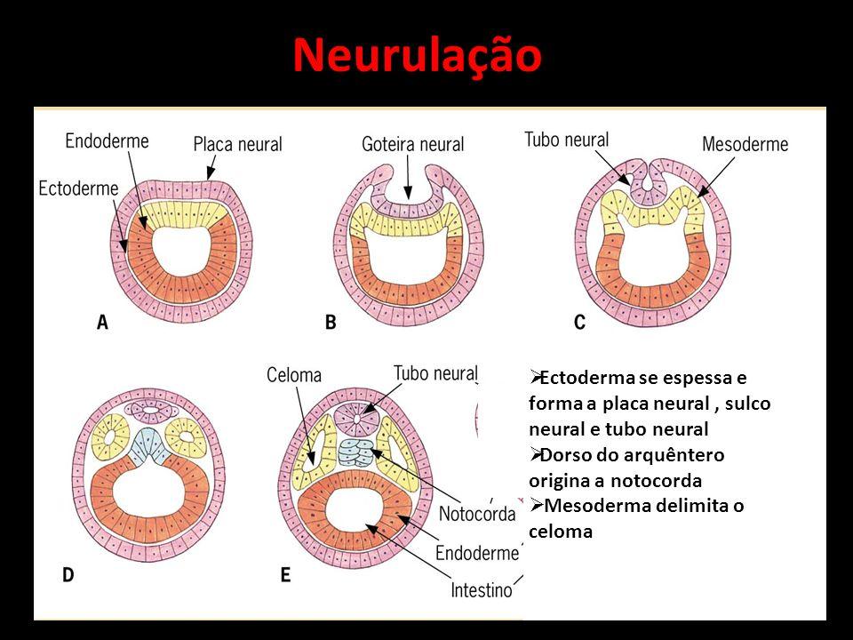 Neurulação Ectoderma se espessa e forma a placa neural, sulco neural e tubo neural Dorso do arquêntero origina a notocorda Mesoderma delimita o celoma