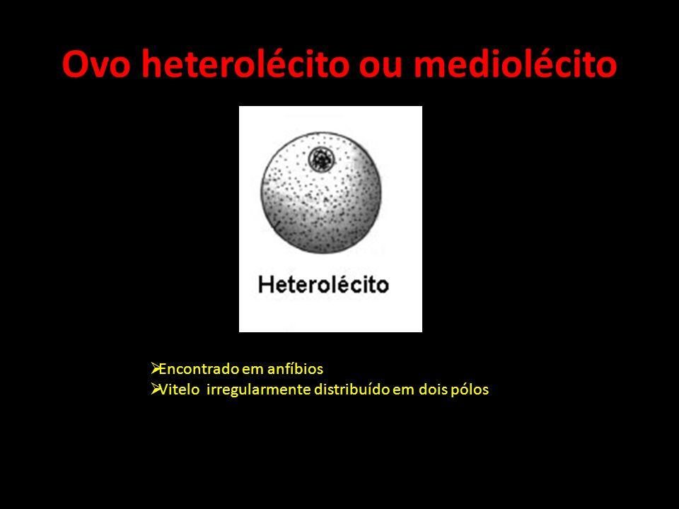 Ovo telolécito ou megalécito Presente em peixes, aves e répteis Repleto de vitelo exceto no pólo animal