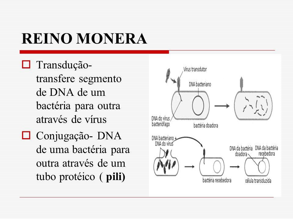 REINO MONERA Transdução- transfere segmento de DNA de um bactéria para outra através de vírus Conjugação- DNA de uma bactéria para outra através de um tubo protéico ( pili)