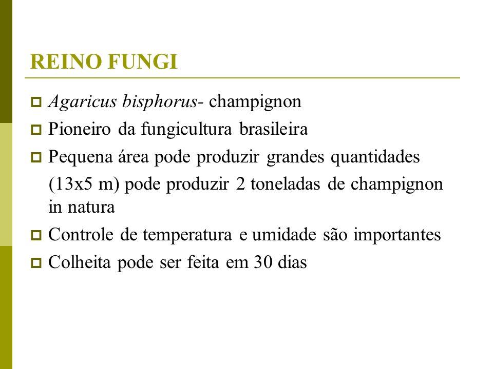 REINO FUNGI Agaricus bisphorus- champignon Pioneiro da fungicultura brasileira Pequena área pode produzir grandes quantidades (13x5 m) pode produzir 2