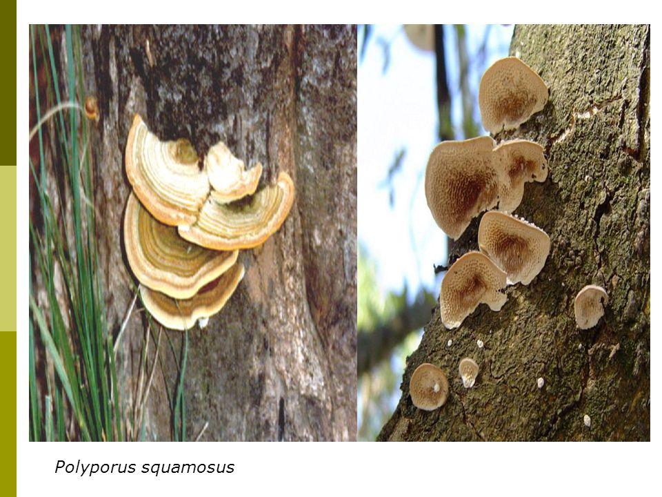 Polyporus squamosus