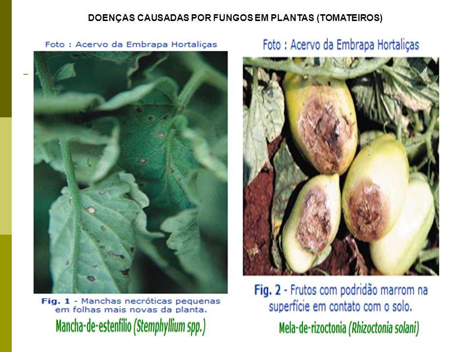 DOENÇAS CAUSADAS POR FUNGOS EM PLANTAS (TOMATEIROS)