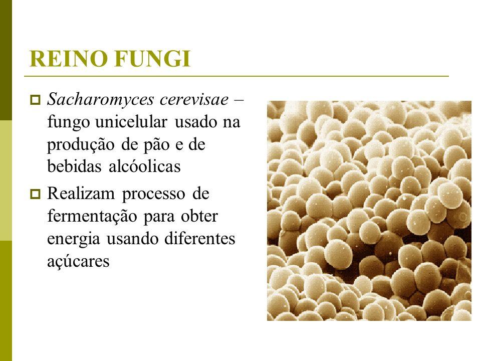 REINO FUNGI Sacharomyces cerevisae – fungo unicelular usado na produção de pão e de bebidas alcóolicas Realizam processo de fermentação para obter ene