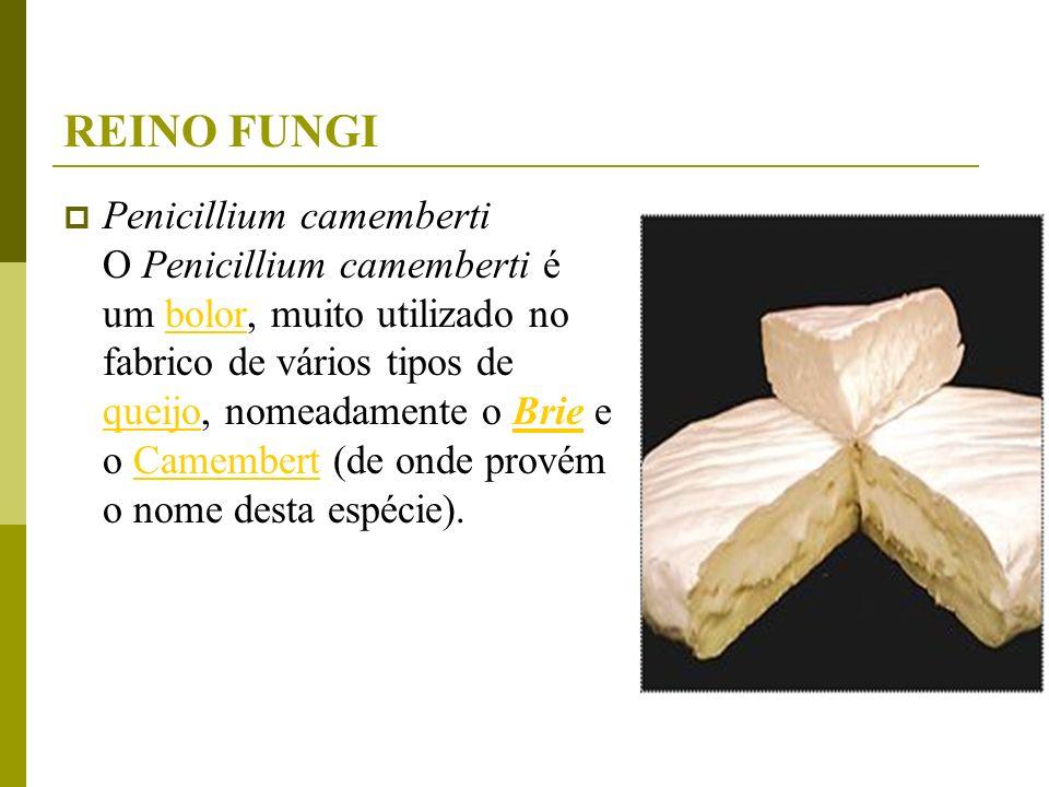 REINO FUNGI Penicillium camemberti O Penicillium camemberti é um bolor, muito utilizado no fabrico de vários tipos de queijo, nomeadamente o Brie e o