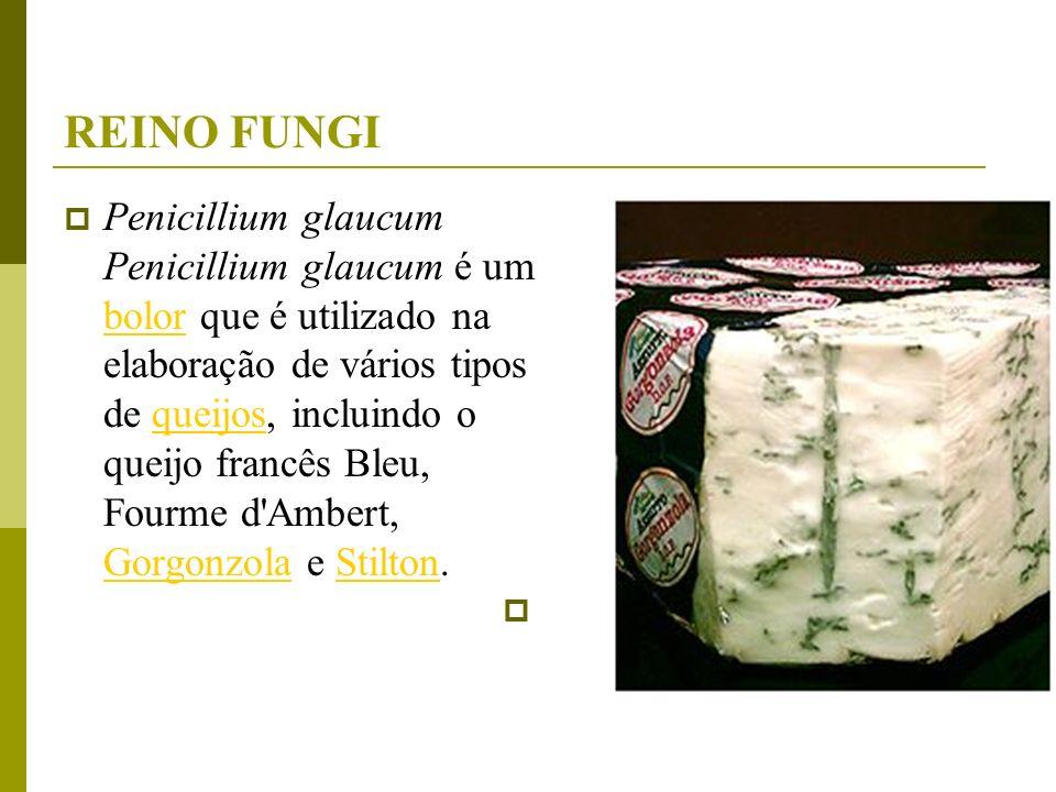 REINO FUNGI Penicillium glaucum Penicillium glaucum é um bolor que é utilizado na elaboração de vários tipos de queijos, incluindo o queijo francês Bl