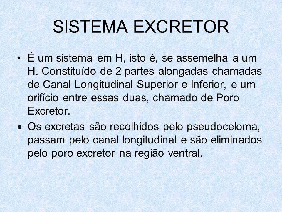 SISTEMA EXCRETOR É um sistema em H, isto é, se assemelha a um H. Constituído de 2 partes alongadas chamadas de Canal Longitudinal Superior e Inferior,