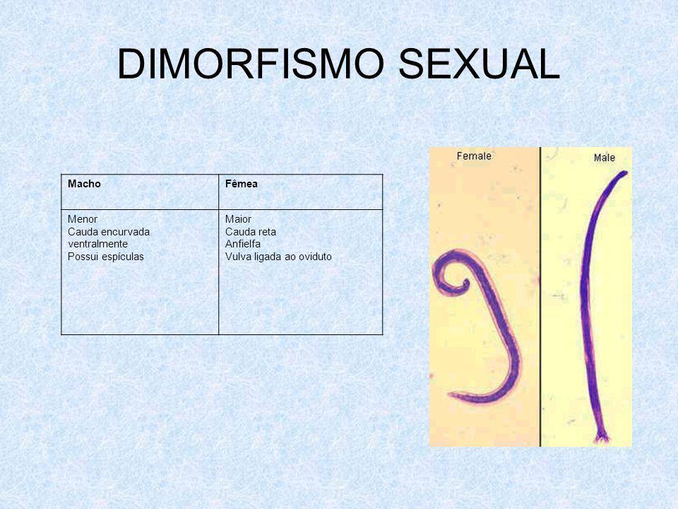 DIMORFISMO SEXUAL MachoFêmea Menor Cauda encurvada ventralmente Possui espículas Maior Cauda reta Anfielfa Vulva ligada ao oviduto